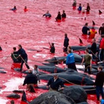 latest Thousands of Dolphins & Whales Slaughtered in Annual Grindadrap Massacre