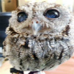 Meet The Owl With Amazing Galaxy Eyes, Seeing Them Will Blow Your Mind