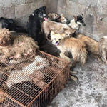 62 Dogs Rescued from Slaughterhouse in China on Way to Dog Eating Festival