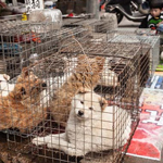 news thumbnail for China Defies Coronavirus Safeguards  Reopens Wet Markets Selling Bats  Dogs   Cats