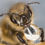 Scientists Create Edible Vaccine for Honey Bees to Protect from Deadly Diseases