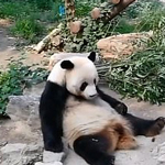 news thumbnail for Chinese Tourists Throw Rocks at Panda  To Wake It Up  at Beijing Zoo