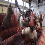 France Passes Historic Bill To Install Cameras In ALL Slaughterhouses
