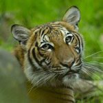 news thumbnail for Tiger at Bronx Zoo Tests Positive for Coronavirus  Other Animals May Have Virus