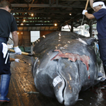 Japan Will Resume Commercial Whaling in 2019, Defies Decades-Old Intl Moratorium