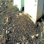 37 Million Bees Die Instantly After GMO Farm Moves Into Neighbourhood